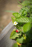 Que floresce o arbusto morangos, morango floresce no backg borrado Fotos de Stock