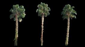 3 que soplan en las palmeras tropicales reales del mismo tamaño verdes hermosas del viento almacen de metraje de vídeo