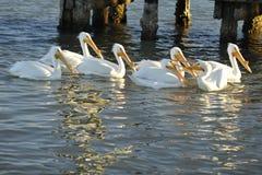 Que você disse? Disputa dos pelicanos brancos fotografia de stock royalty free