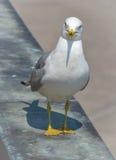 Que você está olhando? a gaivota Anel-faturada (delawarensis do Larus) levanta perto do Rio Niágara e cai waterside Imagens de Stock
