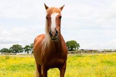 Que você que olha? cavalo que olha a câmera. Foto de Stock