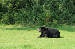 Quebec, bear in the Saint Felicien zoo Royalty Free Stock Photography