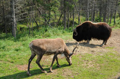 Quebec, bison and a caribou in the Saint Felicien zoo Stock Photos