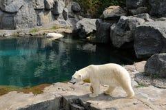 Quebec björn i zoosauvagen de Helgon Félicien Arkivbild