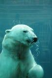 Quebec björn i zoosauvagen de Helgon Félicien Arkivfoto