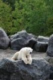 Quebec björn i Zoosauvagen de Sanktt Félicien Royaltyfria Foton