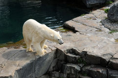 Quebec björn i Zoosauvagen de Sanktt Félicien Royaltyfri Bild