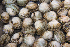 Quebec cockles Royalty Free Stock Photography