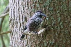 Quebra-nozes, adulto - sentando-se em uma árvore Imagens de Stock Royalty Free