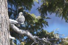 A quebra-nozes de Clark senta-se em uma árvore Fotografia de Stock Royalty Free