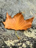 Queda alaranjada da folha de bordo à pedra no banco do córrego Imagens de Stock