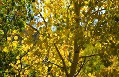 Queda Aspen Leaves Silhouetted nas montanhas fotografia de stock