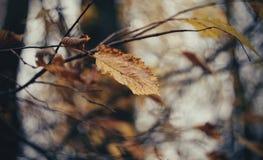 Queda atrasada da folha só Imagem de Stock