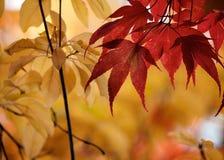 Queda Autumn Japanese Maple Magnolia Leaves imagens de stock