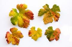 A queda coloriu as folhas da uva imagens de stock