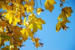 Queda da árvore Imagem de Stock