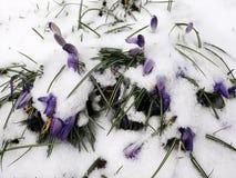 Queda da neve em flores do açafrão Foto de Stock Royalty Free