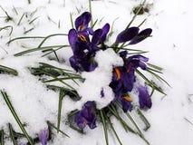 Queda da neve em flores do açafrão Imagens de Stock