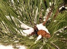 Queda da neve em um ramo de pinheiro Foto de Stock