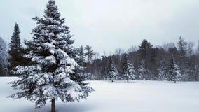 Queda da neve fraca com o grande abeto vermelho coberto de neve video estoque