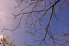 A queda das flores da árvore de chama no verão Fotos de Stock Royalty Free