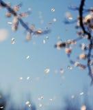 Queda das flores de cereja Fotos de Stock