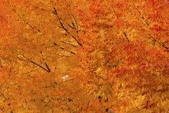 A queda das folhas de bordo do amarelo alaranjado colore Leavenworth Washington Imagens de Stock
