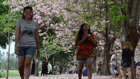 Queda de jogo e de jogo da mulher tailandesa da flor na terra do rosea de Tabebuia ou da árvore de trombeta rosado no jardim filme