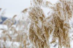 Queda de neve bonita Neve nos ramos dos arbustos Imagem de Stock Royalty Free