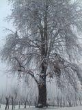 Queda de neve da árvore de Chinar fotografia de stock