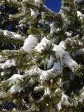 Queda de neve do zimbro Imagens de Stock Royalty Free