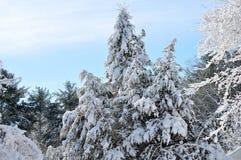 Queda de neve fresca em pinhos Fotografia de Stock Royalty Free