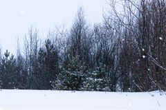 Queda de neve na borda da floresta, onde os pinhos, os salgueiros e os vidoeiros crescem, inverno nevado imagens de stock