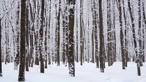 Queda de neve no inverno na floresta, manhã de Natal nevado macia com neve de queda video estoque