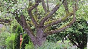 Queda de pétalas delicada da árvore de cereja de florescência sobre a cerca do jardim filme