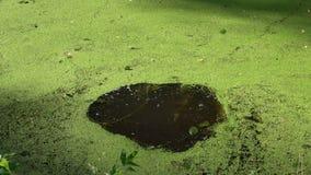 Queda de pedra na água verde com duckweeds vídeos de arquivo