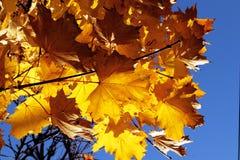 A queda deixa a folha das cores do outono e o fundo das árvores Fotos de Stock Royalty Free