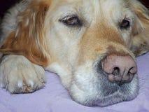 Queda do cão do golden retriever adormecida imagem de stock