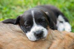 Queda do cachorrinho adormecida Imagens de Stock Royalty Free
