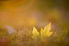 Queda dourada da grama da folha da hora Imagem de Stock