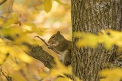 A queda e os esquilos são inseparáveis imagens de stock