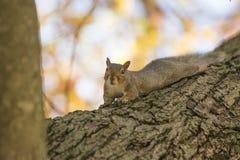 A queda e os esquilos são inseparáveis fotos de stock royalty free