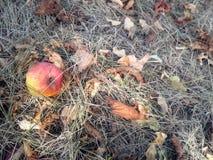 Queda madura da maçã na grama seca do outono imagem de stock royalty free