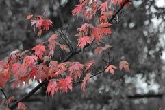 Queda nele ` s melhor com folhas do coral e fundo preto e branco Fotografia de Stock Royalty Free