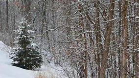 Queda nevando na árvore Spruce sempre-verde nas madeiras no movimento lento filme