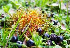 Queda roxa pequena dos frutos na mola Foto de Stock Royalty Free