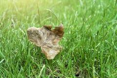 Queda velha da folha na grama verde foto de stock