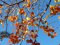 A queda vermelha das folhas está vindo Fotografia de Stock