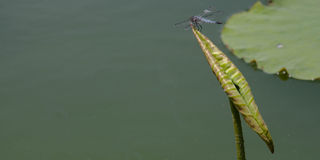 Quedas da libélula em uma onda da folha dos lótus Fotos de Stock