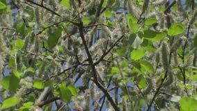 Quedas do fluff do álamo branco das árvores video estoque